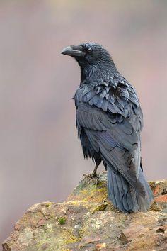 ancientdelirium:(via Raven Posing On A Rock by Sergey Ryzhkov) Raven Bird, Quoth The Raven, Crow Bird, Crow Or Raven, Corvo Tattoo, Jackdaw, Crows Ravens, All Birds, Tier Fotos