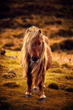 Oh my, you cute little pony, you! Scottland - Julia-Neubauer Fotografie