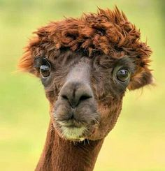 This was my face when shaved alpacas showed up on my interest board . Farm Animals, Animals And Pets, Funny Animals, Cute Animals, Vida Animal, Mundo Animal, Beautiful Creatures, Animals Beautiful, Pekinese