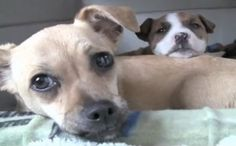 Daily Cute: Pregnant Chihuahua Rescued from High Kill Shelter, Adopts Pit Bull