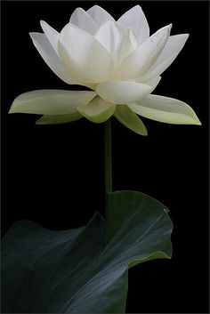 White Lotus on Black Background