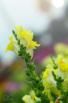 Yellow Flowers Chiang Mai, Thailand #fotobylinhping