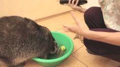 Приколы с енотом. Смешные видео с животными.