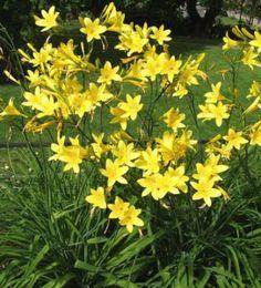 Keltapäivänlilja - Hemerocallis lilio-asphodelus Melko voimakkaastileviävä, mutta sirolta näyttäväkeltapäivänliljakuuluu kestävimpiinja vanhimpiinpäivänliljoihimme. Kukinta: Kesä–heinäkuu. Sitruunamaisestituoksuvia,puhtaankeltaisia kukkia kehittyy6–9 kpl vartta kohden.Kukinta kestääkesäkuunpuolivälistäheinäkuuhun.
