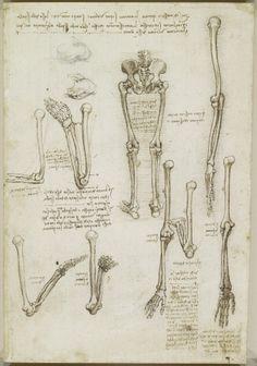 Leonardo da Vinci - The bones of the arm and leg.