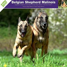 Calendrier chien 2017 - Race Berger belge Malinois - Affixe Edition