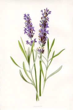 Lavender Botanical Printable - free printable available from The Graphics Fairy.