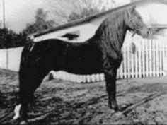 Red Vermont, uno de los sementales sobre los que se fundó la raza American Morgan Horse