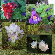 Taken by me .. Freesia collage