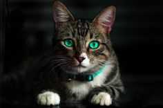 Beautiful Cats, Animals Beautiful, Cute Animals, Beautiful Gorgeous, Small Animals, Animals Dog, Cute Cats And Kittens, Cool Cats, Bengal Kittens