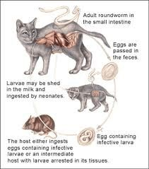 Roundworms In Cats Worms In Dogs Roundworm Cat Signs