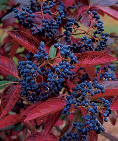 Showy shrub for fall: Viburnum nudum 'Winterthur'
