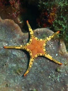 The Icon Star (Iconaster longimanus) It grows to a diameter of about 30 centimetres (12 in) with a central disc about 10 cm (4 in) across. It has a marginal row of large plates that resemble mosaic tiles and contrast in colour with the disc. The margin is usually tan with symmetrically arranged dark brown bands and the disc is orange-brown. It is found in the west and central Indo-Pacific Ocean.