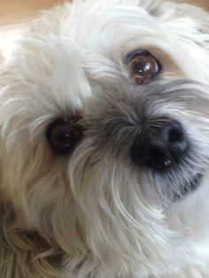 Izzy, Havanese | Izzy is a 10-year-old sweet and loving boy. He is looking for a forever home, preferably where he would be the only dog and without young children. He is currently fostered at Size Small Dog Rescue in Saskatoon.  October 16, 2013