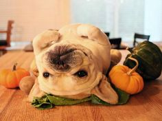 Haha! Upside down... SO CUTE. french bulldog