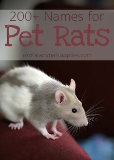 rx online name ideas for pet rats. The perfect names for male or female rats. Even so… name ideas for pet rats. The perfect names for male or female rats. Even some clever names for rat pairs. Female Pet Names, Girl Pet Names, Cute Pet Names, Names For Pets, Female Male, Pet Rat Cages, Pet Cage, Pet Rodents, Pets