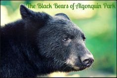 Algonquin Provincial Park is home to over Black Bears. This works out to approx. one bear for every 3 kms. Or as the joke goes, one bear for every three campers. Algonquin Camping, Algonquin Park, Common Myths, Canoe Trip, Go Camping, Black Bear, Polar Bear, The Great Outdoors, Habitats
