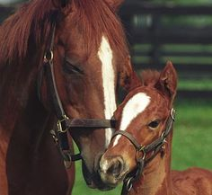 Genuine Risk, the 2nd filly to win The Kentucky Derby.  Regret won it in 1915 (I think that is the correct year). She is pictured here with her foal.  She lived for 31 years.