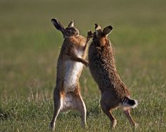 Image result for boxing hares