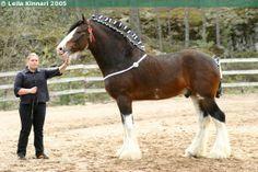 Clydesdale - stallion Hillside Lord Lyon