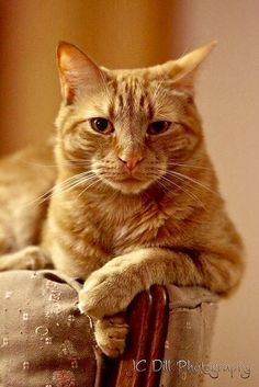 Elegant boy! Feline diddly fact...Did you know that 80% of orange tabbies are male?