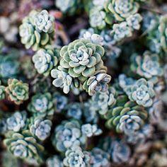 12 great drought-tolerant plants   4. Sedum spathulifolium 'Cape Blanco'   Sunset.com