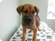 Rochester, NH - German Shepherd Dog Mix. Meet Annie a Puppy for Adoption.