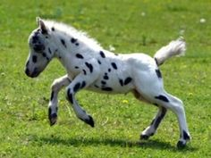 """""""appaloosa foal"""" The way this little guy is built, he looks more like a spotted/Appaloosa coloured miniature horse foal than an actual Appaloosa foal. Pretty Horses, Horse Love, Beautiful Horses, Animals Beautiful, Cute Baby Animals, Animals And Pets, Farm Animals, Baby Horses, Mini Horses"""