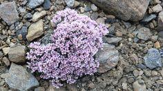 Ptilotrichum purpureum,