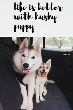 Most Funny and Cute Husky Puppies video compilation that will make laughter. Husky Puppies And Love - How They Are The Same. Cute Husky Puppies, Husky Puppy, Puppy Love, Dog Days, Funny Dogs, Life Is Good, Dog Lovers, Wolf, Cute Animals