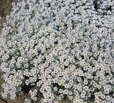 250 Seeds Cerastium Tomentosum  /'Snow in Summer/'
