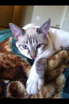 Maytag siamese lynx point kitty cat