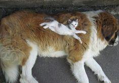 14 chats qui utilisent des chiens comme des coussins - Image