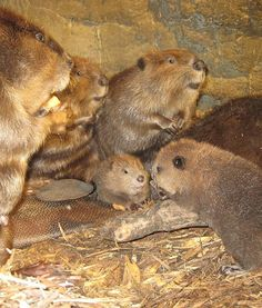 OMFG!!!! Three precious North American beaver kits are seen with their family in their warm and cozy enclosure at the Jackson Zoo in Mississippi.