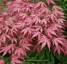 Acer palmatum 'Olsen's Frosted Strawberry' - Japanese Maples › Palmatum   Maplestone Ornamentals