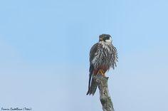 Bird, Hobby, Alcotan, Falco subbuteo