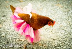 Fashion Fowl: Awesome Fashion Finds for Your Pet Chickens, Ducks, and Geese Types Of Chickens, Cute Chickens, Baby Chickens, Chickens And Roosters, Raising Chickens, Chickens Backyard, Winter Chickens, Chicken Humor, Chicken Lady