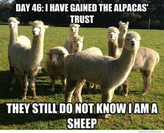 day-46-i-have-gained-the-alpacas-trust
