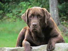 Labs, Labrador Retriever, Animals, Animais, Labrador Retrievers, Animales, Animaux, Lab, Labradors