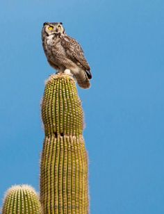 Great Horned Owl near Florence, AZ Photo by Chris Couture