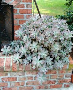 Full size picture of Ghost Plant, Mother of Pearl Plant (Graptopetalum paraguayense)