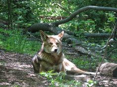 Red wolf at Wolf Conservation Center, a Red Wolf Species Survival Plan participant. Photo credit theirs/Alex Spitzer