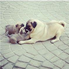 Mama pug with her babies