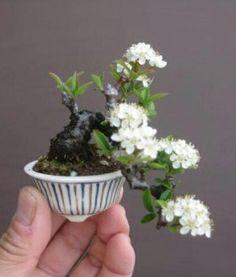 """Baby"" Bonsai 30 - Mame Bonsai with blossoms by 盆栽鉢 春嘉. Might try this with a rose shrub! Mame Bonsai, Ikebana, Plantas Bonsai, Bonsai Plants, Bonsai Garden, Bonsai Trees, Garden Terrarium, Succulents Garden, Mini Plants"