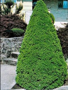 Dwarf Alberta Spruce Extremely Slow Grower Dense Evergreen Highly Deer