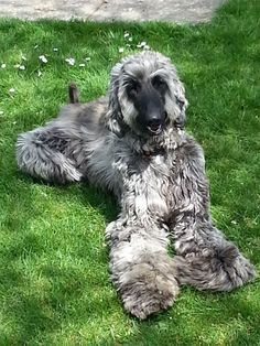 Afghan Hound Puppies | Puppy Dog Gallery