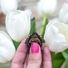 Adorable baby turtle in tulips. Peonies, Tulips, Baby Turtles, Class Ring, Cute Babies, Instagram, Tulip, Funny Babies