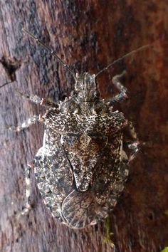 Photo de Punaise arboricole : Parabrochymena arborea - Arboreal Stink Bug - Brochymena arborea