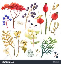 Watercolor Illustration With Branches, Leaves And Berries. Set Of Winter And Autumn Forest Plants. Viburnum, Wild Grapes And Rosehips. - 346727645 : Shutterstock