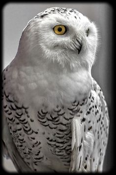 Snowy Owl's can snap, clack, hoot, whistle, and hiss. Usually hooting two to six times in a row, their distinctive calls can be heard up to 7 miles on the tundra. #WayCool